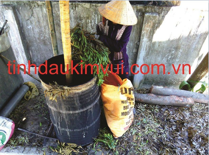 Lá tràm gió được đưa vào nồi nấu truyền thống